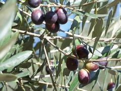 Quality olives of Görmeli (JPEG)